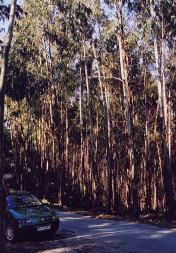 Eucalyptus denticulata age 10 years n the Serra de Arada